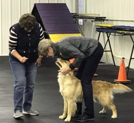 Image of handler learning how to position Golden Retriever's front feet during CCA