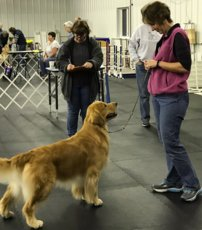 Image show handler keeping the attention of her Golden Retriever during CCA