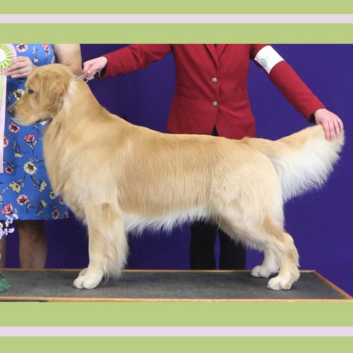Happy Dog image of stacked golden retriever at the show