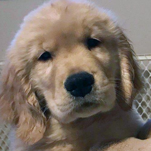 Happy Dog image of cute Golden Retriever puppy
