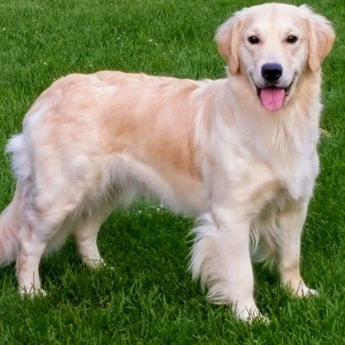 Happy Dog image of smiling Golden Retriever