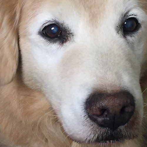 Happy Dog image of older Golden Retriever