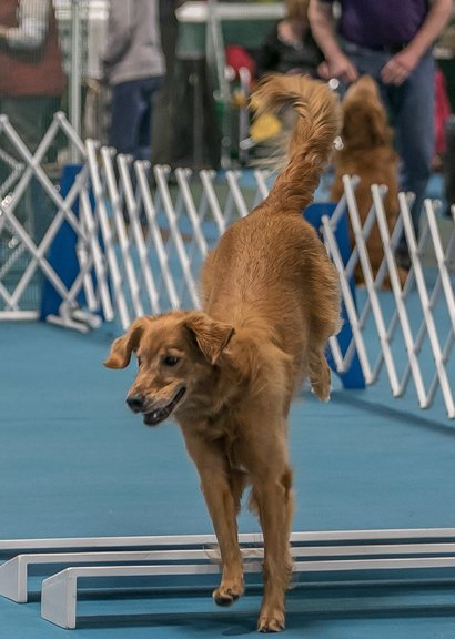 Golden Retriever jumping the broad jump