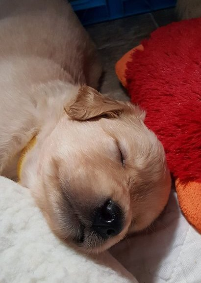Sidebar photo of a baby Golden Retriever sleeping