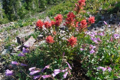 Indian Paintbrush and Penstemon on the Coal Ridge Trail