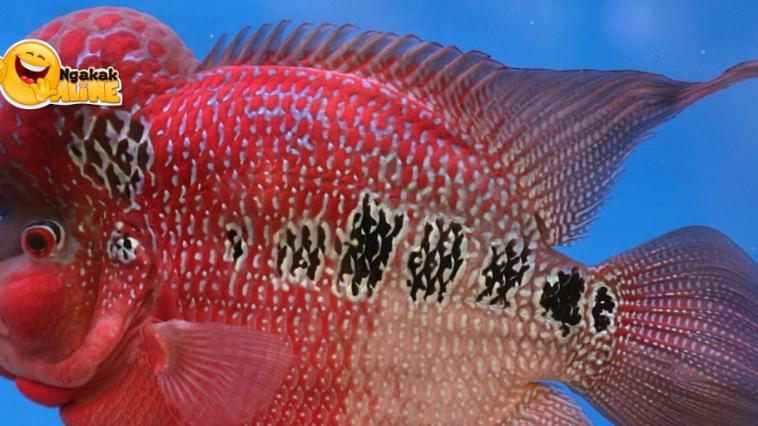 Ikan Lou Han Sejutaan