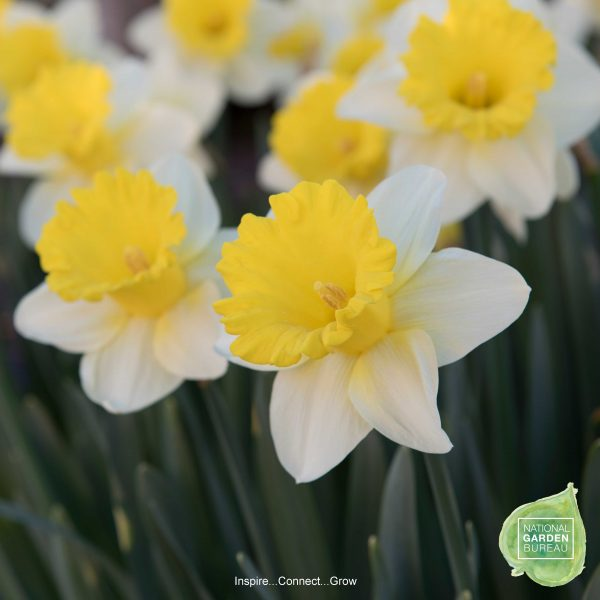 Daffodil Goblet has a yellow halo at the base of the trumpet gives the blossoms an even sunnier look. One of the top 10 NGB daffodil picks for your home and garden