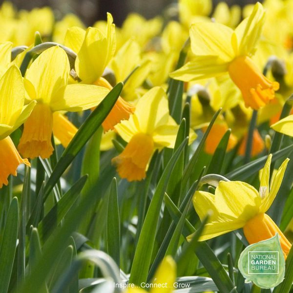 Daffodil Jetfire is an energetic little daffodil that looks like it's rushing full speed into spring. A top 10 daffodil for your garden and home.