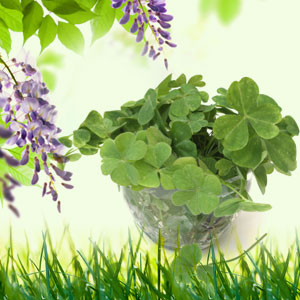 St Patrick's Day Activities for Adults: 4 Leaf Clover Fragrance Oil