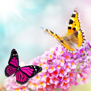 butterfly flower scent