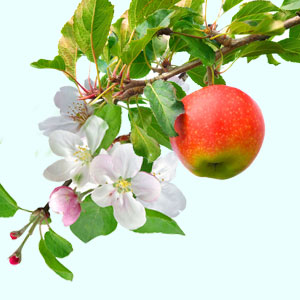 How to Make Apple Scented Candles and Cosmetics: Apple Orchard Fragrance Oil