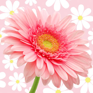 15 Fragrance Oils for Mother's Day: Daisy Type Fragrance Oil