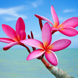 What Are the Best Scents for Summer: Plumeria Fragrance Oil