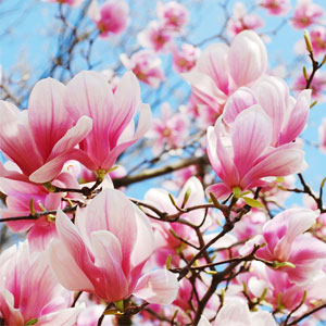 Scents of Spring: Magnolia in Bloom Fragrance