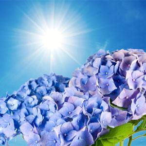NG Blue Hydrangea Type Fragrance Oil