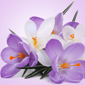 Scents of Spring: Poison Crocus Fragrance Oil