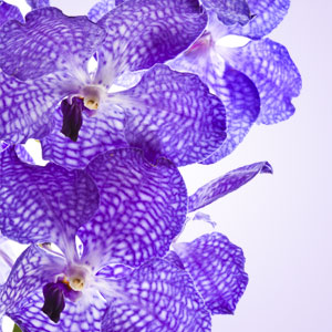 Best Easter Fragrance Oils: Vanda Orchid Fragrance Oil