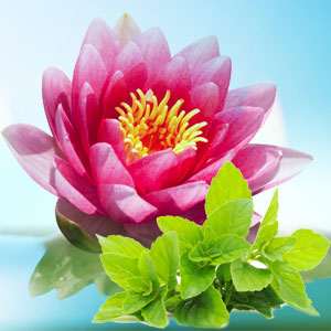 Waterlily Fresh Mint Fragrance Oil