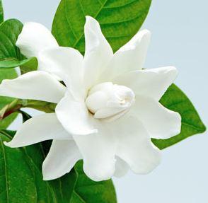 Best Floral Fragrance Oils Gardenia Fragrance Oil