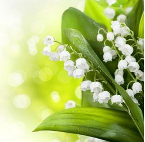 Best Floral Fragrance Oils Lily of the Valley Fragrance Oil