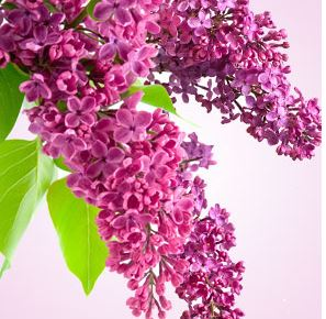 Best Floral Fragrance Oils Lilac Fragrance Oil
