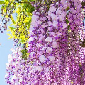 Best Floral Fragrance Oils Wisteria Fragrance Oil