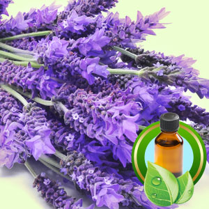 Top 25 Essential Oils Lavandin Grosso Pure Essential Oil