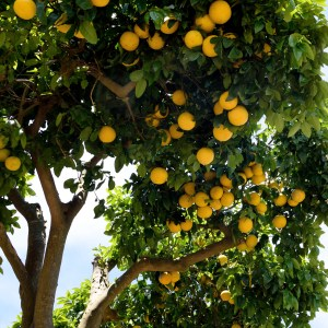 Grapefruit Benefits: Growing Conditions