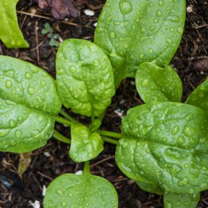 What is Spinach Powder Used for? Growing Conditions