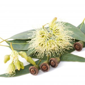 Eucalyptus Benefits: Other Uses