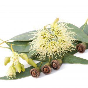 Eucalyptus Benefits: Other Uses