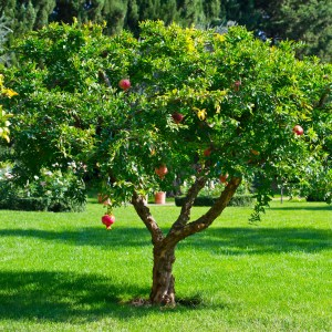 What Are Some of the Benefits of Pomegranate?: Growing Conditions