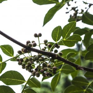 Allspice Benefits: Growing Conditions