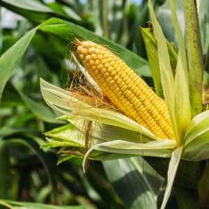 What are the Benefits of Cornsilk?: Growing Conditions