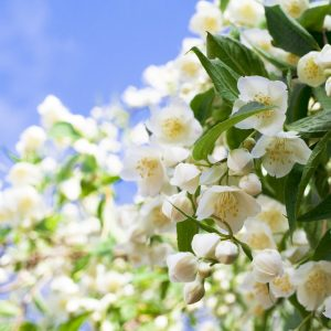 Benefits of Jasmine Flowers: Growing Conditions