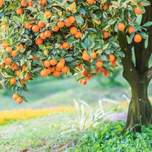 Orange Peel Benefits: Growing Conditions