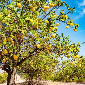 Lemon Peel Benefits: Growing Conditions