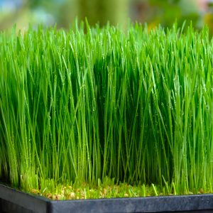 Barley Grass Powder Benefits: Growing Conditions