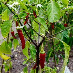 What Can Paprika Be Used For?: Growing Conditions
