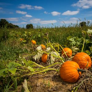 Pumpkin Seed Powder Benefits: Growing Conditions