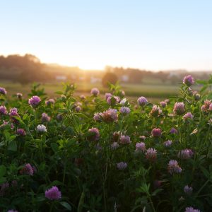 What is Red Clover Good For?: Growing Conditions