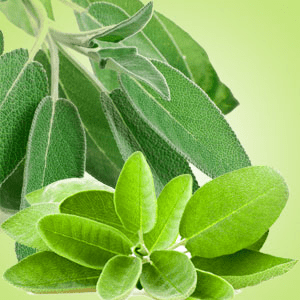 Sage Leaf Fragrance Oil