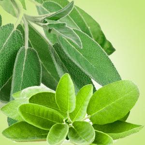Sage Leaf Fragrance Oil