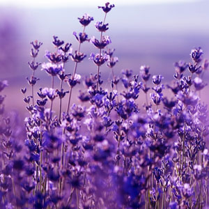 20 Floral Scents for Spring - Lavender Fragrance Oil