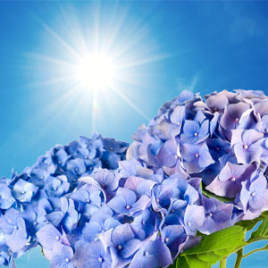 20 Floral Scents for Spring - NG Blue Hydrangea Type Fragrance Oil