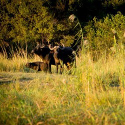 Buffalos (Judit Deak)