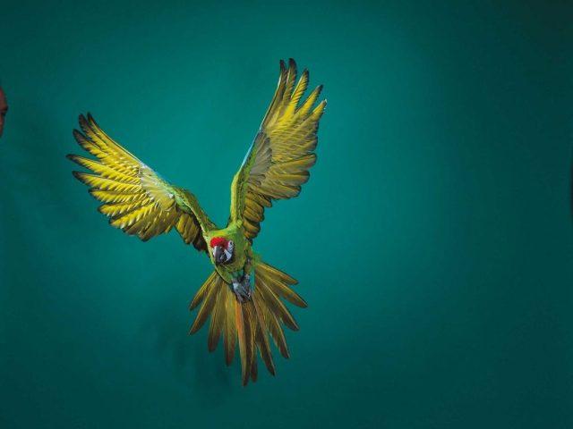 นกใกล้สูญพันธุ์ นกมาคอว์เขียวทหาร