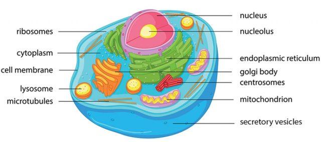 ออร์แกเนลล์, เซลล์สัตว์, เซลล์, โครงสร้างของเซลล์, องค์ประกอบของเซลล์