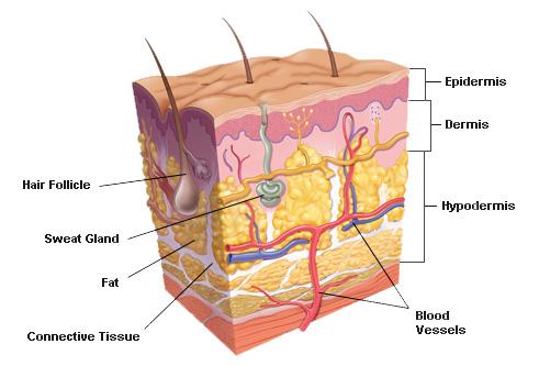 โครงส้รางขผงผิหนัง, ระบบต่างๆ ในร่างกาย, ระบบห่อหุ้มร่างกาย, ระบบผิวหนัง