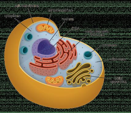 โครงสร้างของเซลล์, โครงสร้างโครโมโมโซม, เซลล์